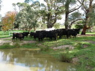 cattle-and-dam