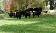 cattle-in-garden
